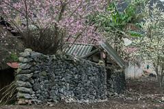 _J5K7971.0312.Sủng Máng.Mèo Vạc.Hà Giang (hoanglongphoto) Tags: asia asian vietnam northvietnam northeastvietnam landscape scenery vietnamlandscape vietnamscenery vietnamscene spring village house home trees peachblossom plumblossom canon canoneos1dsmarkiii đôngbắc hàgiang mèovạc sủngmáng bảnlàng mùaxuân hoamận hoađào ngôinhà nhà cây hàngràođá hàgiangmùaxuân phongcảnh mùaxuânhàgiang hoađàohàgiang hoamậnhàgiang canonef70200mmf28lisiiusm