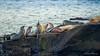 Holidays Family Gathering (ProPeak Photography) Tags: america blue california famousplace fauna green internationallandmark lajolla nature northamerica ocean pacificocean pacificsunset places rocks sandiego sealion touristattraction traveldestination travelandtourism usa unitedstates water waves wildlife
