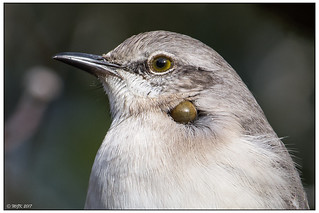 Northern Mockingbird with Tick -Explored- DSC_0267