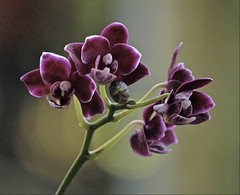 This Morning (ACEZandEIGHTZ) Tags: orchid nikon d3200 art orchidea orchidee closeup noname orphan saariysqualitypictures