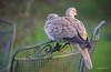 Meanwhile on our garden furniture... (Jongejan) Tags: collareddove turksetortel duif vogel bird nature outdoor