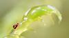 Sminthurides malmgreni (Jonas Jäschke) Tags: sminthurides malmgreni canon mpe 65mm sony a6000 lumiquest softbox makro insekt collembola springtail yongnuo yn560ii neewer nw320 nabu naturschutzbund weyhe niedersachsen böttchers moor