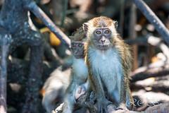 Malaysia-14922.jpg (CitizenOfSeoul) Tags: malaysia pulaulangkawi wildlife see langkawi andamanensee outdoor wildlebendetiere animal affen ape monkey