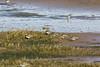 RSPB Hayle and Marazion (doublejeopardy) Tags: bird rspb lapwing wildlifereserve cornwall sanctuary hayle sainterth england unitedkingdom gb