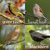 """How is it you sing?"" (mycelphotographer) Tags: greenfinch linnetbird nightingale blackbird sweeneytodd musical birds nature internet"