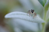 Alice (lolowriderLP) Tags: macro insecte saltique
