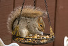 Happiness is... (Dotsy McCurly) Tags: squirrel cute food eat eating hanging basket yard closeup nj newjersey nikond850 sigma150600mmf563dgoshsmcontemporary 7dwf handheld