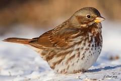 IMG_6728 fox sparrow (starc283) Tags: starc283 sparrow flickr flicker nature naturesfinest bird birding birds canon canon7d outdoors outdoor foxsparrow