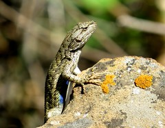 Showing blue - Lizard, perhaps a Western fence lizard, or Blue-belly lizard (Sceloporus occidentalis), with lichen, Mesa Verde National Park, June 2017 (Judith B. Gandy) Tags: lizards sceloporus western colorado reptiles bluebellylizards fencelizards mesaverdenationalpark sceloporusoccidentalis westernfencelizards nationalgeographicwildlife
