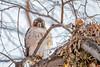 T4 (wn_j) Tags: birds birding birdsofprey nature naturephotography wildlife wildanimals wildlifephotography redtailhawk raptors raptor franklinhawks franklinhawk