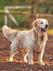 DSC02812 (Sebastopol Dog Park) Tags: sebastopoldogpark sony a7r3 a7rmk3 samyang135mmf2 crop arlendean 162018