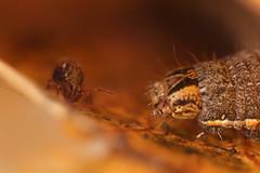 Dicyrtomina saundersi meets caterpillar (marie1179) Tags: collembola hoppstjärt springtail springstaart springschwänze symphypleona dicyrtomidae dicyrtominasaundersi opitter macro caterpillar belgië