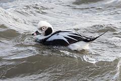 Long-tailed Duck (Bill Richmond) Tags: longtailedduck clangulahyemalis divingduck winterplumage wintervisitor nikond500 nikon500f4 nikon17x