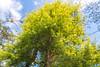 黃金水杉 (傑可) Tags: 黃金水杉 桃源仙谷