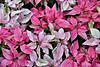 Poinsettia (chooyutshing) Tags: poinsettia plant poinsettiawishes floraldisplay christmasfestival2017 flowerdome gardensbythebay baysouth marinabay singapore