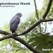 Semiplumbeous Hawk, Leucopternis semiplumbeus