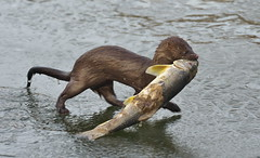 Fish for breakfast! (Gavin Edmondstone) Tags: mink americanmink bronteharbour oakville ontario fish ice neovisonvison