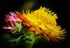 Strawflower (Xerochrysum bracteatum) (Roniyo888) Tags: xerochrysum bracteatum strawflower golden everlasting asteraceae annual shrub white yellow head papery bract black background flower photo border bouquet plant