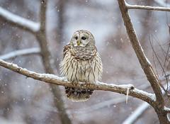 First Snowfall (DTT67) Tags: barredowl barred owl bird birdofprey snow snowfall winter wildl forest nature nationalgeographic canon 1dxmkii 500mmii 14xtciii