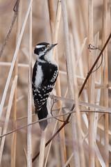 4412 (Condor Photography) Tags: downywoodpecker picoides picoidespubescens bird woodpecker