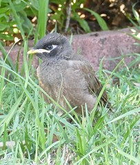 Juvenile Common Myna bird Acridotheres tristis now in Proserpine Area NQ P1440188 (Steve & Alison1) Tags: common myna bird acridotheres tristis now proserpine area nq