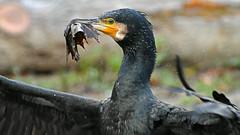 Ich bin auf Diät!  -   I'm on a diet! (karinrogmann) Tags: kormoran cormorant cormorano blatt leaf foglia