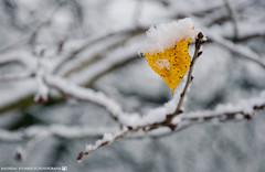 When autumn meets winter. (andreasheinrich) Tags: nature leaf snow bush winter december morning cold frozen germany badenwürttemberg neckarsulm dahenfeld deutschland natur blatt schnee busch dezember morgen kalt gefroren nikond7000