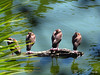 Black-bellied Whistling Duck (Dendrocygna autumnalis) Lowry Park Zoo (Lee_D) Tags: fl lpz capt zoo