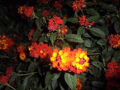 499 (en-ri) Tags: fiorellini little flowers giallo arancione sony sonysti cespuglio leaves foglie