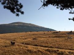 Roccaraso Piana delle cinquemiglia (4) (ottaviobeccegato) Tags: agricoltura montagne mucche prati