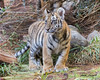 Moka (ToddLahman) Tags: moka bengaltiger tiger tigers tigertrail tigercub beautiful mammal male sandiegozoosafaripark safaripark canon7dmkii canon canon100400 closeup