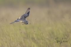 velduil-29522 (Sjors loomans) Tags: bird birds prey nature natuur natuurfotografie outdoor owl owls roofvogels short eared velduil vogel wildlife sjors loomans holland