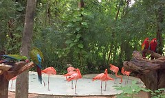Mexico (Cancun) Parrots and flamingos at Xcaret Ecoarchaelogical Park (ustung) Tags: mexico cancun xcaret park natural parrot flamingos birds forest palm tree pond
