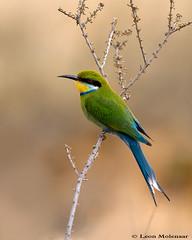 Swallow-tailed Bee-eater (leendert3) Tags: leonmolenaar wildlife kgalagaditransfrontierpark southafrica birds swallowtailedbeeeater ngc npc