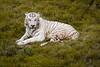 White Tiger (aliffc3) Tags: whitetiger lahore pakistan travel
