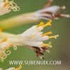 Kleinia neriifolia-2 (SUBENUIX) Tags: altressuculentes kleinianeriifolia suculentas subenuix subenuixcom planta suculent suculenta botanic botanical