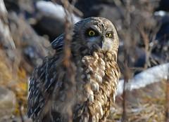 Short-eared Owl - in hiding? (kenyoung3) Tags: asioflammeus shortearedowl owls birdsofprey raptor deltabccanada