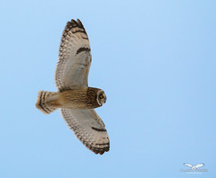 HDM FLighT2 (alainpoirier48) Tags: hiboudesmarais shortearedowl
