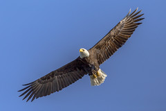 Wingspan (Paul Rioux) Tags: nature avian bird inflight baldeagle flying soaring wings wingspan outdoors wildlife prioux