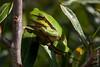 ©Mark Kras-Europese boomkikker-IMG_6654.jpg (markkras-fotografie) Tags: europeseboomkikker amfibieen reptielenenamfibieen fauna europeantreefrog hylaarborea nederland nl