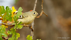 Ruby-crowned Kinglet (Bob Gunderson) Tags: birds california centralvalley kinglets kingletsgnatcatchers lakesolano northerncalifornia reguluscalendula rubycrownedkinglet solanocounty