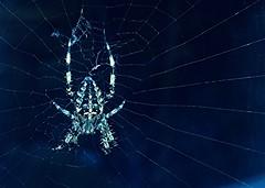 Spider (esala.kaluperuma) Tags: spider web