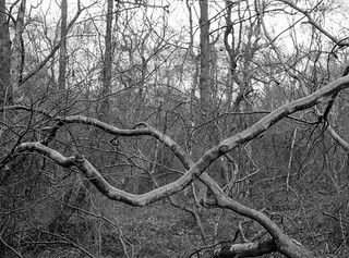 Crossing Branches (Hyons Wood)