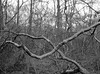 Crossing Branches (Hyons Wood) (Jonathan Carr) Tags: tree branches hyonswood rural northeast northumberland landscape abstract black white monochrome mediumformat analogue bw 6x45