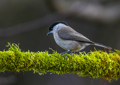 Marsh tit (Bojan Žavcer) Tags: tit wildlife nature animal bird blue green red eye fauna colorful depthoffield wing abstract color outdoor water white wild avian beautiful birding long amazing blur broun fascinant fast enviromant perching stick tailed lovely greatphotographers