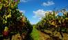 Rosnay - FRANCE (manguybruno) Tags: nature paysage vigne landscape vine feuille