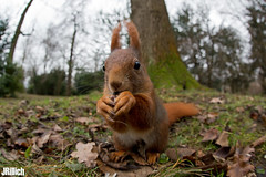 red squirrel, Eichhörnchen, Sciurus vulgaris @ Clara Zetkin Park, Leipzig, 2017 (Jan Rillich) Tags: jan rillich janrillich picture photo photography foto fotografie eos digital wildlife animal nature beautiful beauty sunny sun fauna flora animalphotography leipzig winter funny lustig clarazetkinpark 2017 germany canon canon5d eichhörnchen sciurus vulgaris red squirrel clarazetkin park fisheye fischauge canon5dmarkiii 5dmarkiii dslr