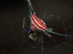 PC240695 (Atul Vartak) Tags: diversityindia macracantha araneidae spinyorbweaver
