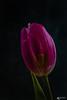 Tulpe (sandygortol) Tags: tiefenschärfe tulpe blume blüte flowers flare lila purple pflanze samsung nx 30 s1855csb grün green tulip macro mondays macromondays doppelbelichtung double exposure doubleexposure