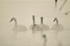 Spa Day (Scott M. Mohn) Tags: lake water pond rippled swans watersurface floatingonwater wading swimming steam birds nature wildlife winter minnesota wild trumpeterswan feathers beak plumage avian morninglight weather cold dabbling adults juvenile reflections beautyinnature cygnusbuccinator sonyilca77m2